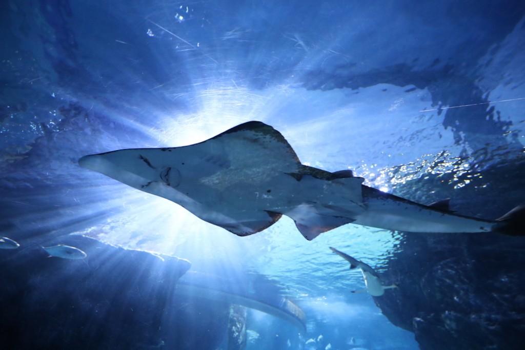 SEA LIFE Bangkok_Discover The New Shark Family20