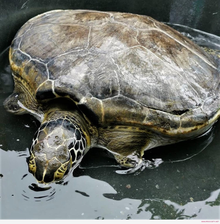 45 เต่าอายุ 20 ปี ขาหน้าขาดทั้ง 2 ข้าง เป็นเต่าตัวต่อไปที่เตรียมใส่ขาเทียม